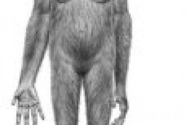 Fósil de 'Ardi', ancestro común de humanos y monos, fue el avance científico del año para 'Science'