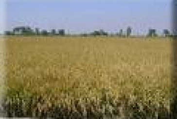 Diseñan gen que protege al arroz contra plagas