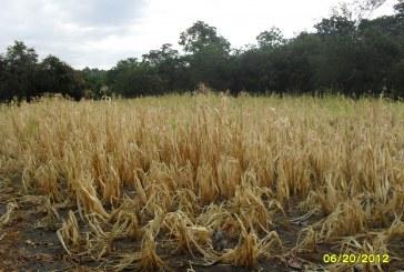 Con la entrada en vigencia de TLC con Estados Unidos, el  principal sacrificado es la agricultura Nacional y Departamental